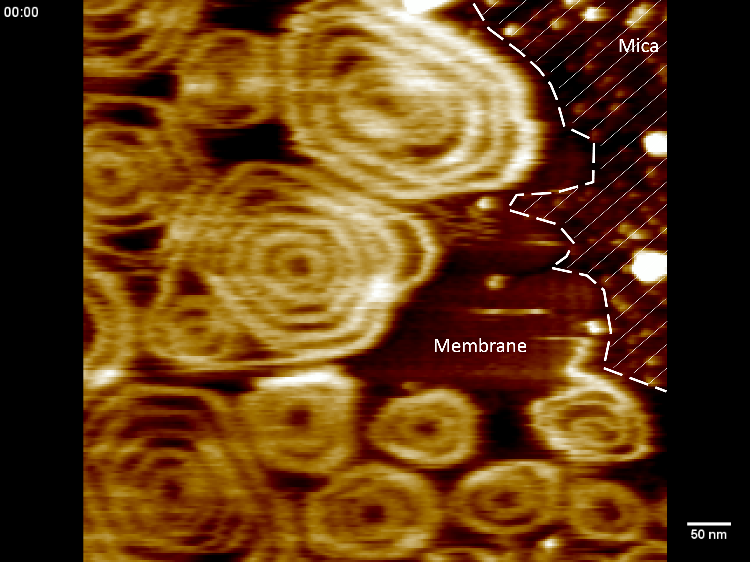 Image Snf7 High Speed AFM - Scheuring Lab