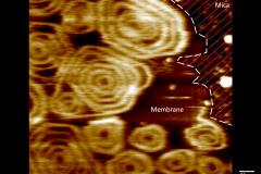 Image Snf7 High Speed AFM - Scheuring Lab